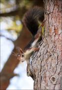 IMG 6370a 125x180 Видео и фото белки в лесу, фотографии белок