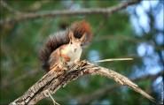 IMG 6408a 185x119 Видео и фото белки в лесу, фотографии белок