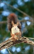IMG 6412a 115x180 Видео и фото белки в лесу, фотографии белок