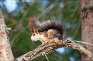 IMG 6423a 185x121 Видео и фото белки в лесу, фотографии белок