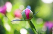 2071 60 spain 89 kб mercado 90760 costablanca 2071 185x121 Фото цветов   пионы, жасмин и шиповник