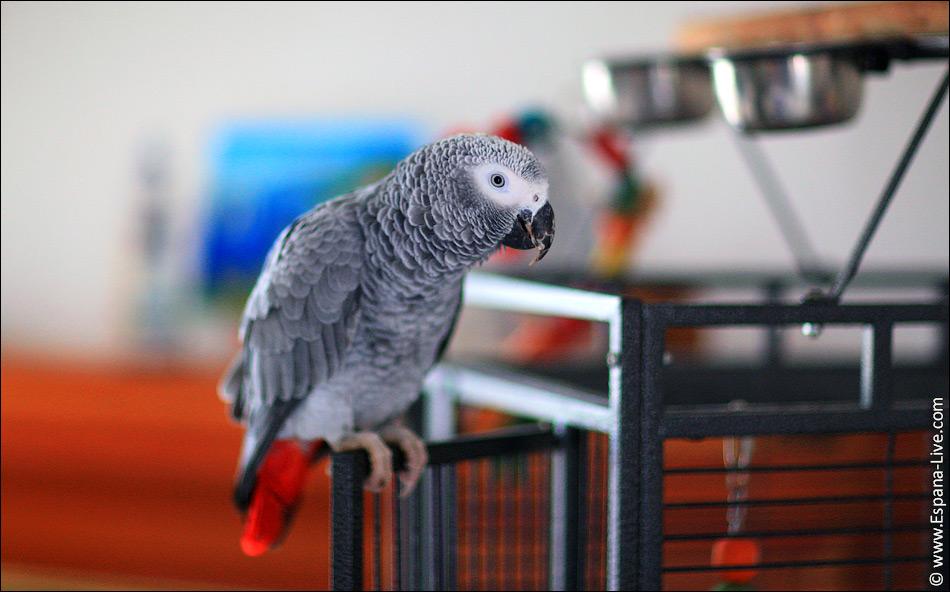 2015 12 loro jaco Наш ручной Говорящий попугай Жако по имени Silver из Африки, Конго