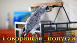 Video 2 250x141 Наш ручной Говорящий попугай Жако по имени Silver из Африки, Конго