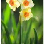 foto flower spring10 150x150 Качественные фотографии весенних цветов