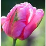 foto flower spring11 150x150 Качественные фотографии весенних цветов