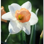 foto flower spring12 150x150 Качественные фотографии весенних цветов