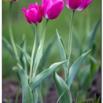 foto flower spring14 150x150 Качественные фотографии весенних цветов