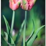 foto flower spring4 150x150 Качественные фотографии весенних цветов