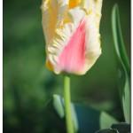 foto flower spring9 150x150 Качественные фотографии весенних цветов