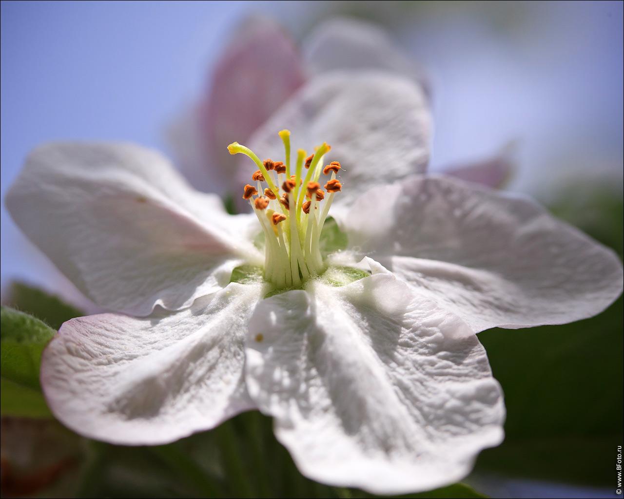 Весна цветение яблони