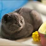 vistavka koshek sobak 2000 150x150 Фото с выставки кошек и собак, фотографии мейн кун, ашера, рэгдолл, саванна, экзот
