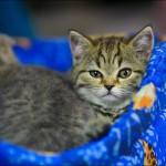 vistavka koshek sobak 2001 150x150 Фото с выставки кошек и собак, фотографии мейн кун, ашера, рэгдолл, саванна, экзот