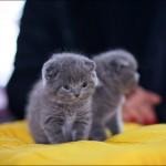 vistavka koshek sobak 2002 150x150 Фото с выставки кошек и собак, фотографии мейн кун, ашера, рэгдолл, саванна, экзот