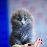 vistavka koshek sobak 2005 150x150 Фото с выставки кошек и собак, фотографии мейн кун, ашера, рэгдолл, саванна, экзот