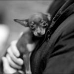 vistavka koshek sobak 2013 150x150 Фото с выставки кошек и собак, фотографии мейн кун, ашера, рэгдолл, саванна, экзот
