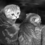 vistavka koshek sobak 2015 150x150 Фото с выставки кошек и собак, фотографии мейн кун, ашера, рэгдолл, саванна, экзот