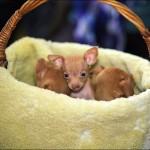vistavka koshek sobak 2017 150x150 Фото с выставки кошек и собак, фотографии мейн кун, ашера, рэгдолл, саванна, экзот