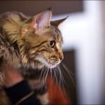 vistavka koshek sobak 2019 150x150 Фото с выставки кошек и собак, фотографии мейн кун, ашера, рэгдолл, саванна, экзот