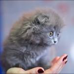 vistavka koshek sobak 2021 150x150 Фото с выставки кошек и собак, фотографии мейн кун, ашера, рэгдолл, саванна, экзот