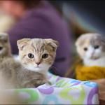 vistavka koshek sobak 2025 150x150 Фото с выставки кошек и собак, фотографии мейн кун, ашера, рэгдолл, саванна, экзот