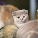 vistavka koshek sobak 2027 150x150 Фото с выставки кошек и собак, фотографии мейн кун, ашера, рэгдолл, саванна, экзот