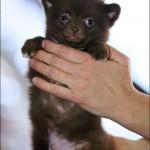 vistavka koshek sobak 2030 150x150 Фото с выставки кошек и собак, фотографии мейн кун, ашера, рэгдолл, саванна, экзот