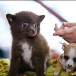 vistavka koshek sobak 2031 150x150 Фото с выставки кошек и собак, фотографии мейн кун, ашера, рэгдолл, саванна, экзот