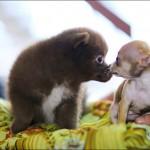 vistavka koshek sobak 2032 150x150 Фото с выставки кошек и собак, фотографии мейн кун, ашера, рэгдолл, саванна, экзот