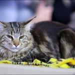 vistavka koshek sobak 2033 150x150 Фото с выставки кошек и собак, фотографии мейн кун, ашера, рэгдолл, саванна, экзот
