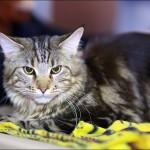 vistavka koshek sobak 2034 150x150 Фото с выставки кошек и собак, фотографии мейн кун, ашера, рэгдолл, саванна, экзот