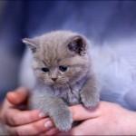 vistavka koshek sobak 2035 150x150 Фото с выставки кошек и собак, фотографии мейн кун, ашера, рэгдолл, саванна, экзот
