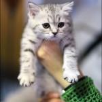 vistavka koshek sobak 2036 150x150 Фото с выставки кошек и собак, фотографии мейн кун, ашера, рэгдолл, саванна, экзот