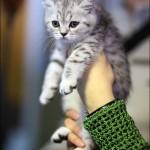 vistavka koshek sobak 2037 150x150 Фото с выставки кошек и собак, фотографии мейн кун, ашера, рэгдолл, саванна, экзот