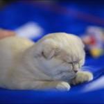 vistavka koshek sobak 2038 150x150 Фото с выставки кошек и собак, фотографии мейн кун, ашера, рэгдолл, саванна, экзот