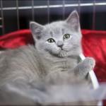 vistavka koshek sobak 2039 150x150 Фото с выставки кошек и собак, фотографии мейн кун, ашера, рэгдолл, саванна, экзот